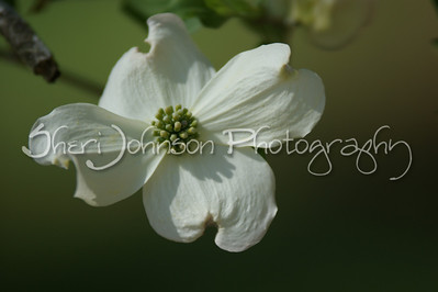signs of spring - dogwood flower in Georgia - 200mm @ f2.8