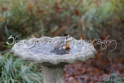 robin bathing in our birdbath