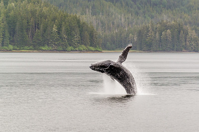 Humback Whale breaching in Salisbury Sound