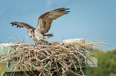 Osprey with two chicks in nest