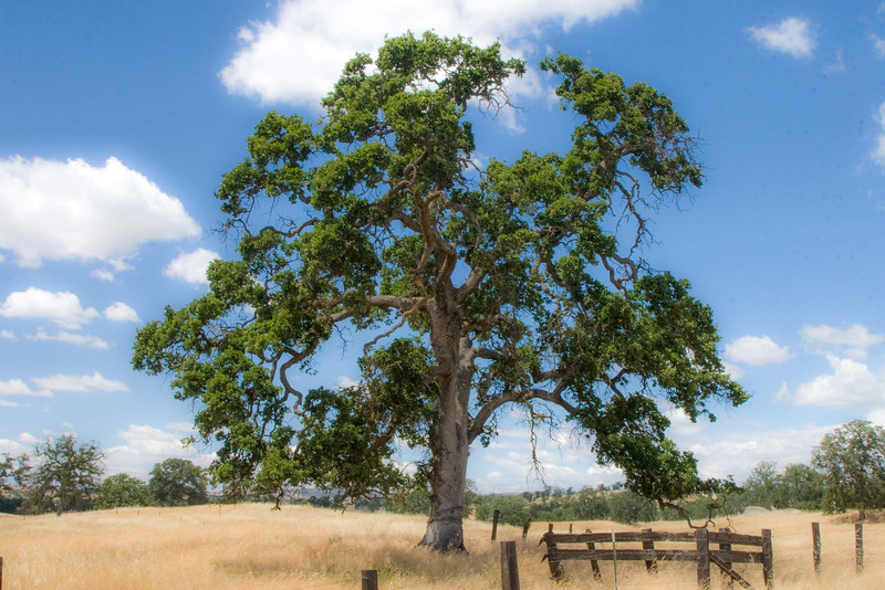 Lone Tree in Central California Ranch Land