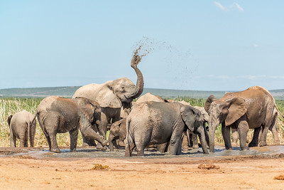 Herd of Elephant at watering hole in Addo National Elephant Park