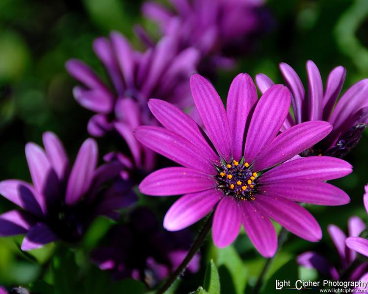Bed of Purple Flowers