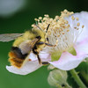 Collecting Bee I