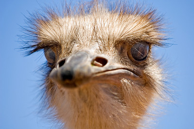 Karoo ostrich