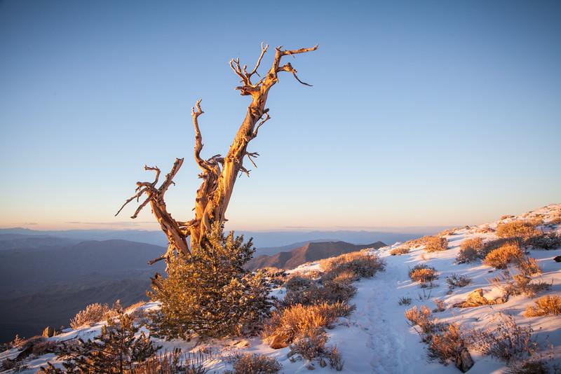 Lone Bristlecone Pine