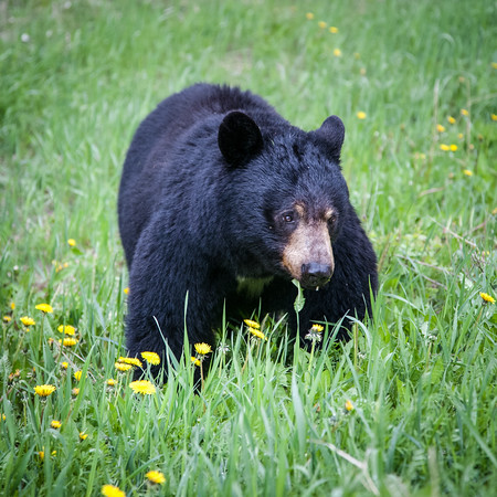 Black Bear - Dandelion