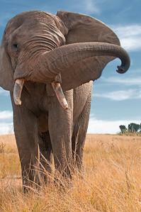 Elephant in the Lion Park, Kwazulu Natal