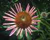 Skinny Petal Cone Flower