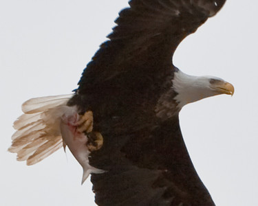 Eagle catches fish north of Alton, IL