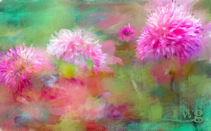 Moent's Pink ragged Dahlias-Edit