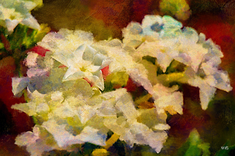 White Phlox painted on Red background