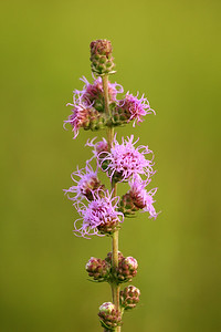 IMG_5666 rough blazing star