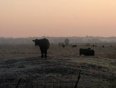 sunset cows