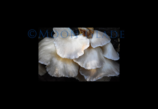 Oyster mushrooms 24x36 canvas