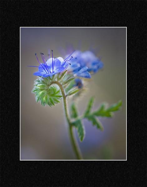 bluephacelia