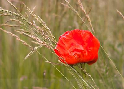 Poppy in Grass