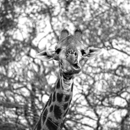 Giraffe, Phinda 2011