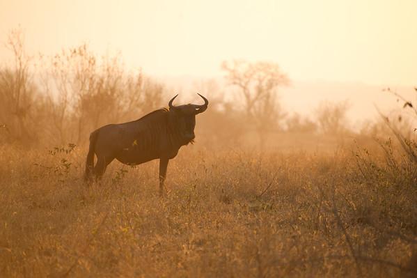 Wildebeest, Phinda 2011