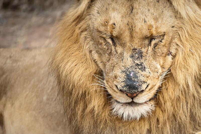 Lion, Londolozi 2011