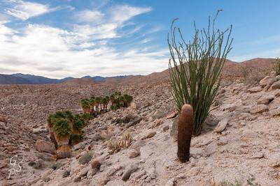 Barrel Cactus and Ocotillo