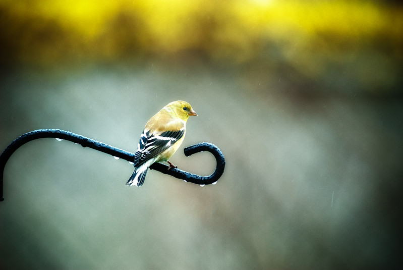 Goldfinch Perch