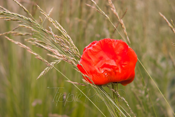 Poppy in Grass