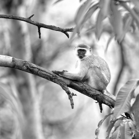 Vervet Monkey, Lake Manyara 2014