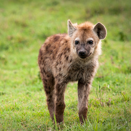 Hyena, Ngorongoro Crater