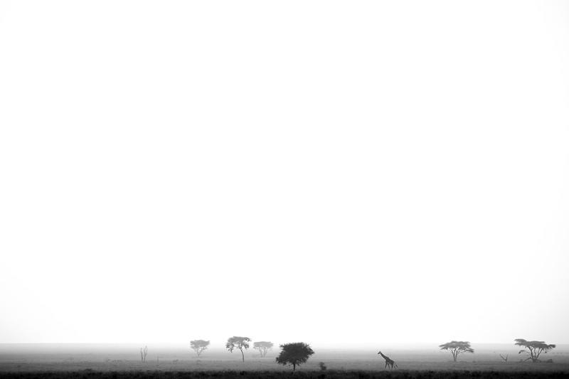 Giraffe in Silhouette, Southern Serengeti 2014