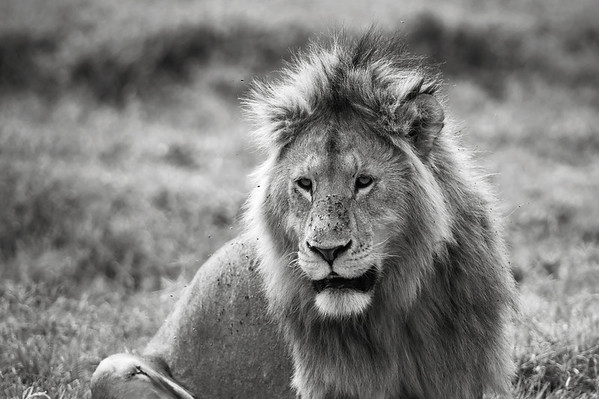 Lion, Ngorongoro Crater 2014