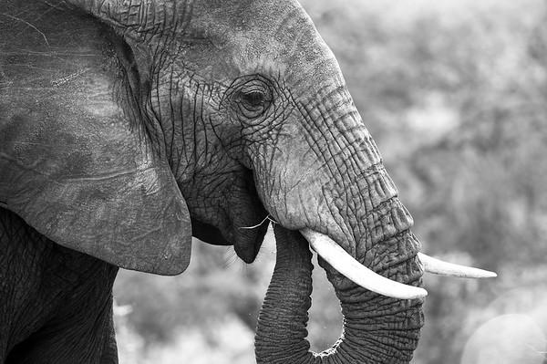Elephant, Tarangire 2014