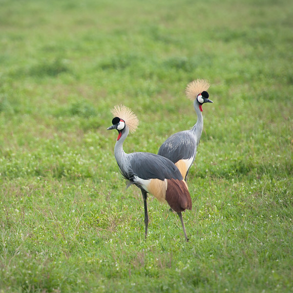 Crowned Cranes, Ngorongoro Crater 2014