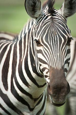 Zebra, Ngorongoro Crater 2014