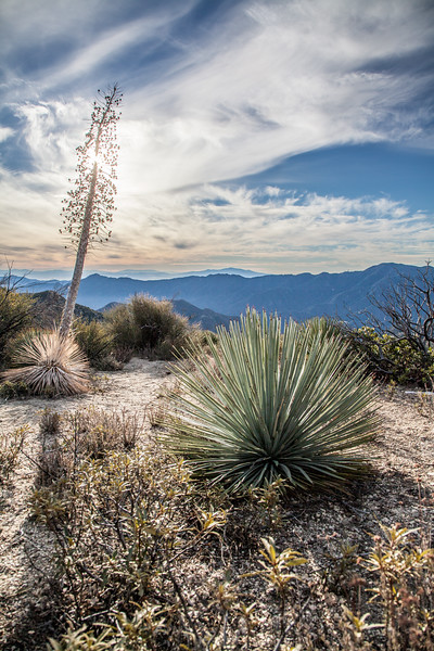 Yucca in Angeles National Forest