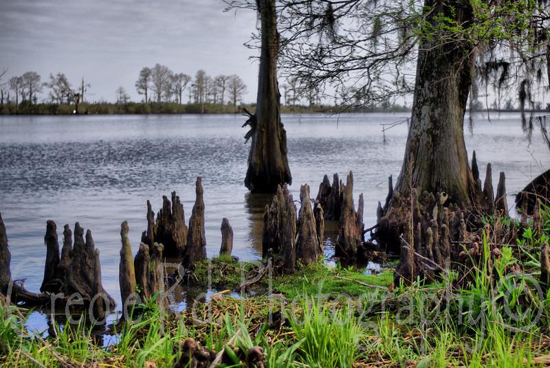 Madisonville Cypress Knees
