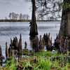 Madisonville Cypress Knees