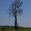 Post Katrina, lone tree