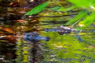 Alligator Pair-100