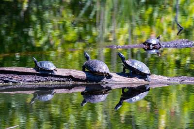 Turtles Sunning-100