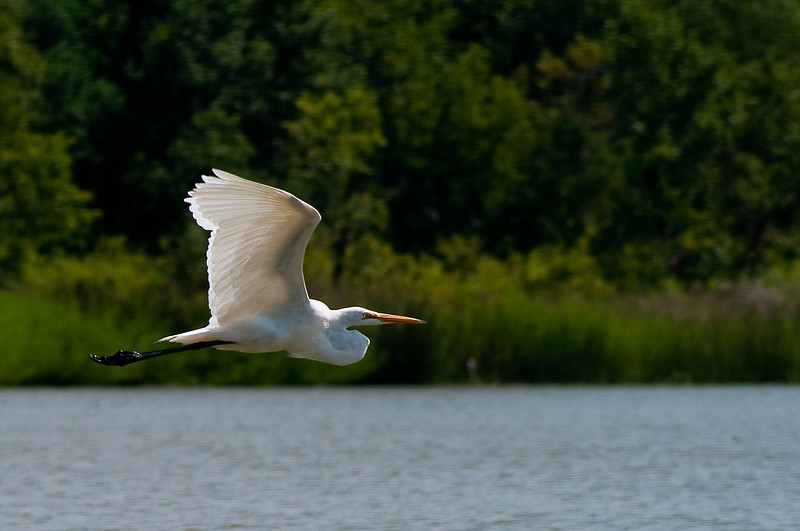 Great Egret-3895