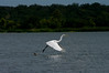 Great Egret-3883