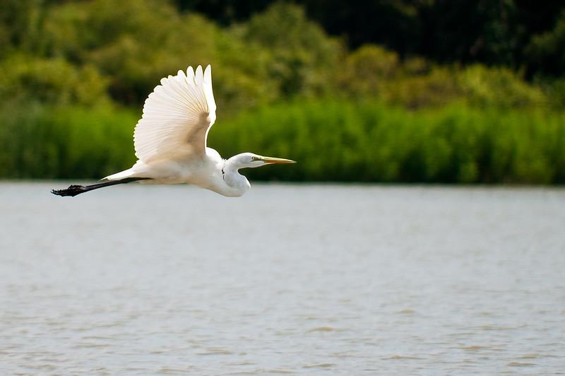 Great Egret-3894