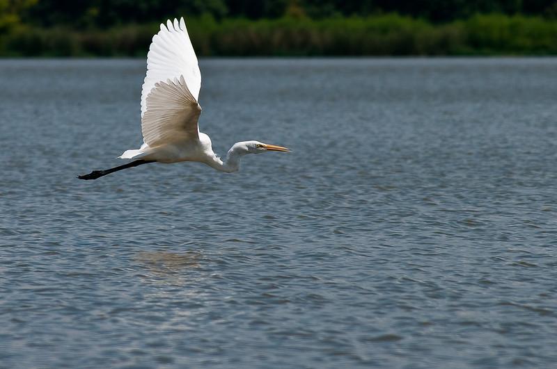 Great Egret-3888