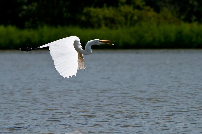 Great Egret-3893
