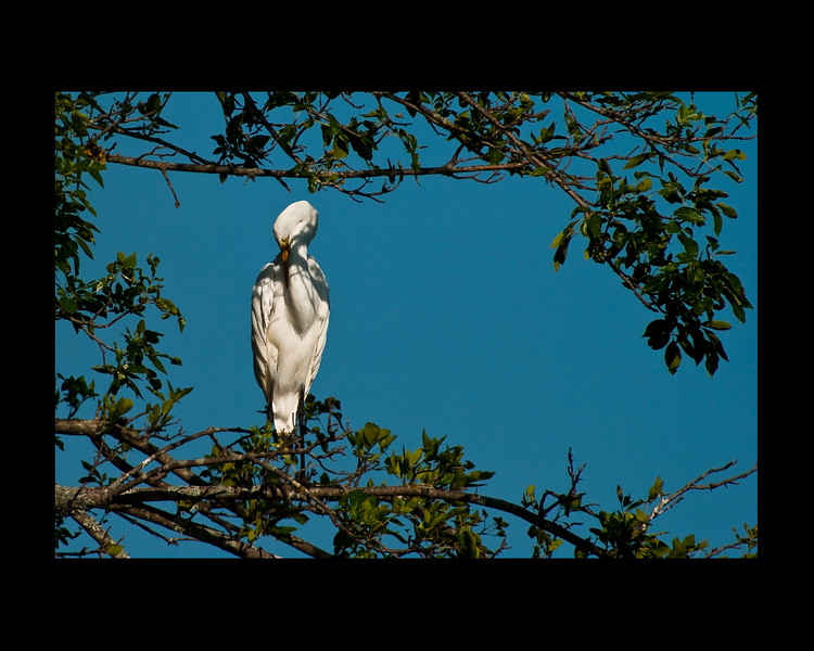 sleepy egret1