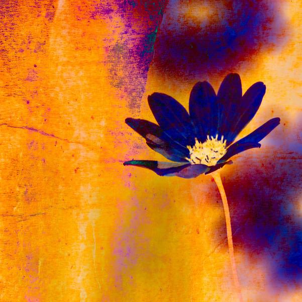 _MG_3129-Blue Petals