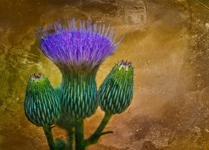 _MGL2651 Thistle and texture-Edit