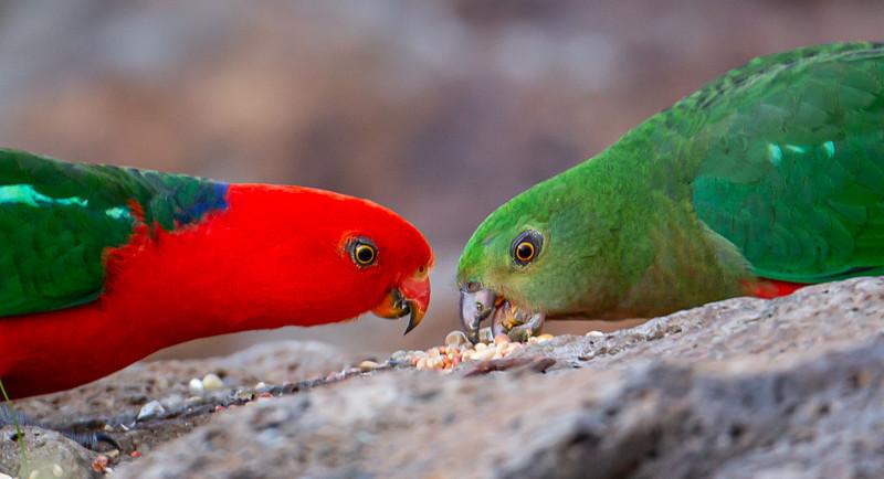 Pair King Parrots