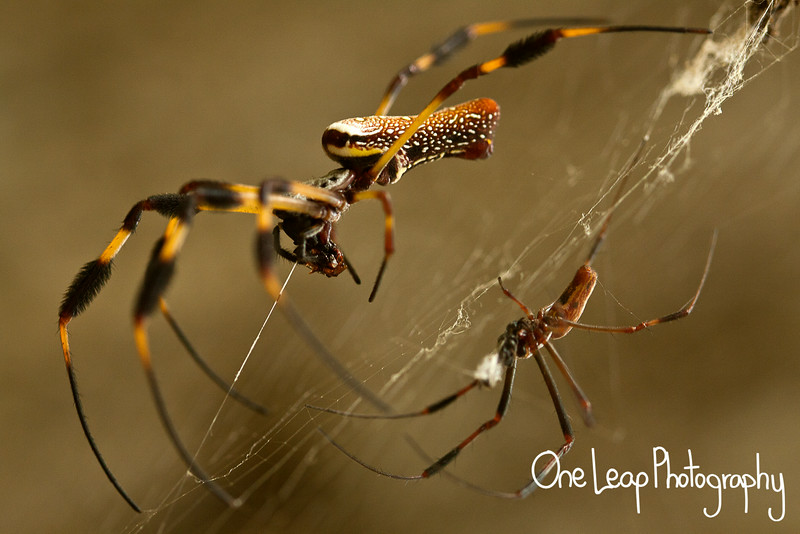 Nephila clavipes x2 - female on left(top) and male on right(bottom)